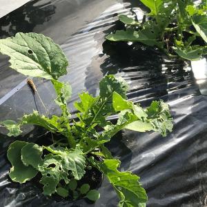 野菜作り やっぱりダイコンサルハムシに沢山食害されていました。大根栽培の大敵です。
