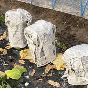 珍しい野菜作り 白菜の寒さ対策の新聞紙、綺麗に巻けてお地蔵様のようになってます。