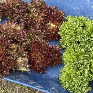 珍しい野菜作り 菜園で年越しをしたハンサムレタス収穫しました。