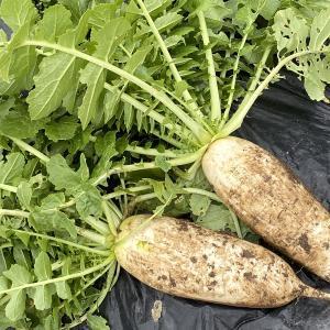 珍しい野菜栽培 2ヶ月遅れの大根の様子です。