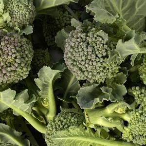 珍しい野菜栽培 ブロッコリー スティックセニョールと脇芽