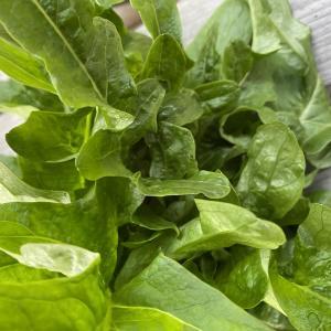 珍しい野菜栽培 ギザギザ葉のイタリアのレタス「カナリーノ」