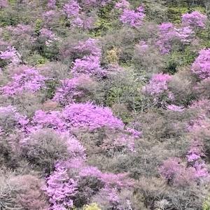 3月最後の週末です。京都高雄の山ツツジと市内の桜をお楽しみ下さい。