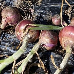 今週から雨の日が続きそうです。倒れ始めた玉ねぎを収穫しました。
