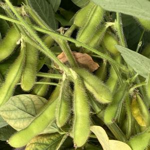 枝豆「初だるま」収穫です。成長までにほんの少し時間がかかりました。