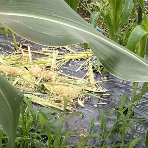 トウモロコシの被害が出ました。動物の作物収穫タイミングの良さに驚きます。