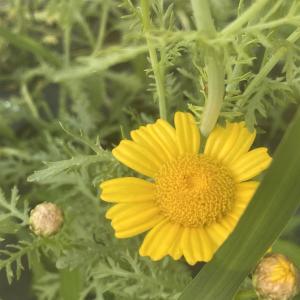 初めて見た春菊の花、可愛いので切り花に出来そうと思ってしまいます。