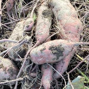 安納芋も収穫しました。やっぱり余り大きく有りません。