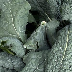 イタリア野菜、カーボロネロ(黒キャベツ)の収穫です。