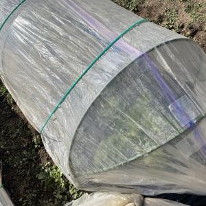トウダチ覚悟でビニールトンネル栽培に変更しました。