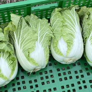 使い切りお手軽サイズのミニ白菜「お黄にいり」収穫です。
