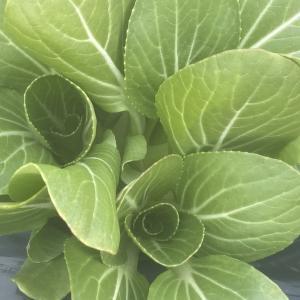 切らずにチンゲンサイ料理に使えるミニチンゲンサイ収穫です。