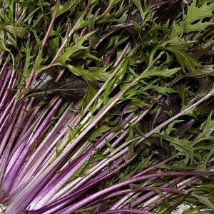 水菜サラダにピッタリの美しい紫の水菜「紅法師」。