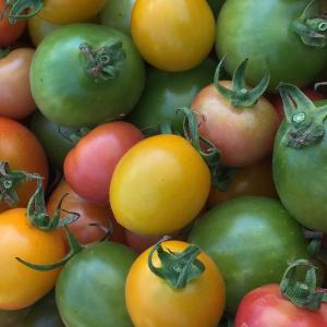 珍しい野菜作り 彩り色々カラフルなミニトマト。緑のミニトマトがとても甘いです。