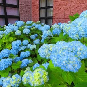 58.7kg 暑くても元気に咲いていた紫陽花とオホーツクラベンダーo(^▽^)o