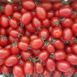 美味しいミニトマトはどこの通販で買える?北海道士別市の「あったかふぁーむ」をブログで紹介!
