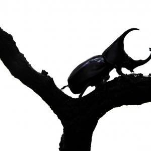 【理科の種まき】カブトムシ飼育2年目、成果ありです