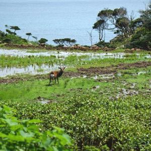 鹿のいる風景 - 野崎島