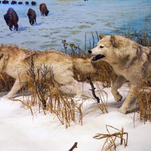 オオカミにDNAが最も近い犬は何と・・