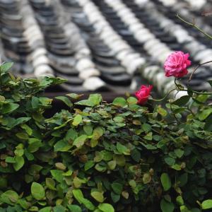 難しい薔薇