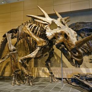 カナダ国立自然博物館の肉付き恐竜