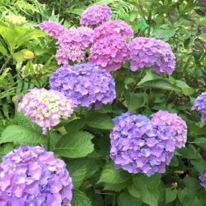 紫陽花がきれいです♪