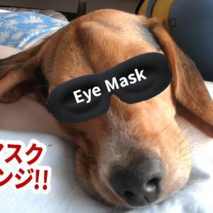 おもしろワンちゃん動画Funny Dog's Eye Mask Challenges/Happy Chan The Beagle