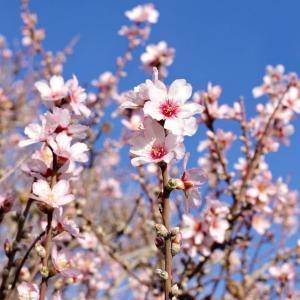 アルガルブ、アーモンドの花が咲き始める