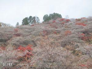 こんな時期に桜が見られる場所🌸