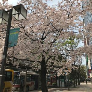 博多駅前の桜とお散歩♫