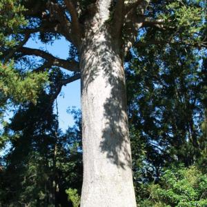 樹齢800年のカウリの木をハグ出来ます!Parry Kauri Park(パリー・カウリ・パーク)で大きなカウリの木を見よう♪