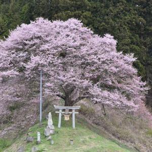 【桜-船引-17】遠中山の桜