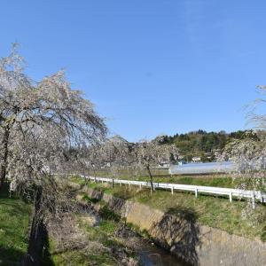 【桜-常葉-08】堀田の桜並木