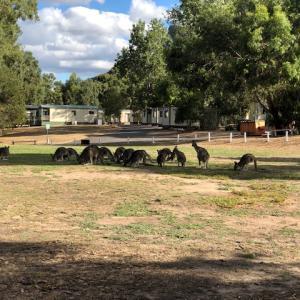 Kangaroos at Halls Gap, Grampains