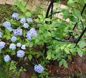 わが家の山紫陽花の様子