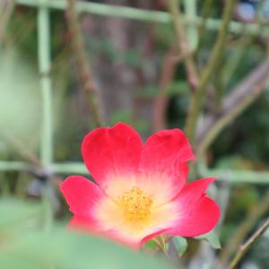 12月の薔薇もすこし