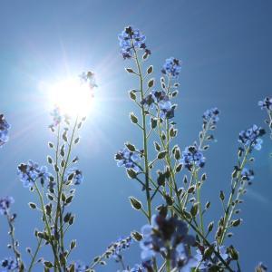 澄んだ青空に青い花