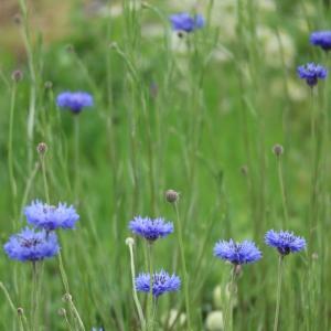 一番美しいヤグルマソウの花びら