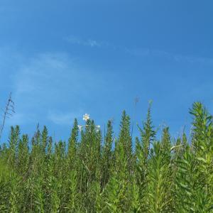 野のユリと、野のハナトラノオ