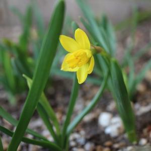 ハナニラ咲いた、黄水仙も咲いた
