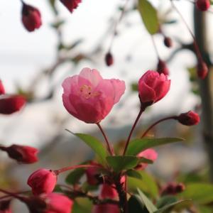 花海棠の開花宣言 2021