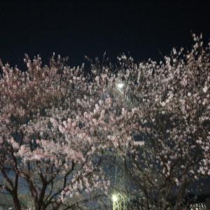 今日の桜たち