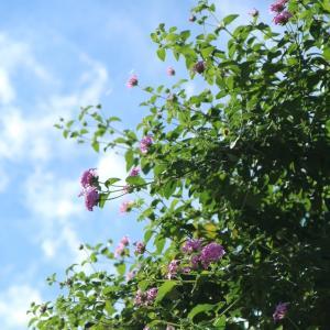 紫のランタナと白いサルスベリと