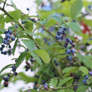ブルーベリーが大豊作①