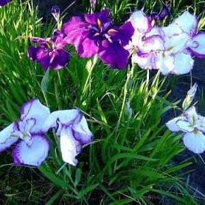 雨を待つ花菖蒲