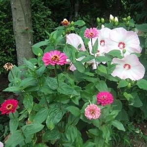 亜米利加芙蓉と花魁草