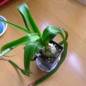 気長に楽しめる面白い植物【コモチラン】