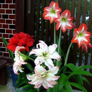 アマリリス3花
