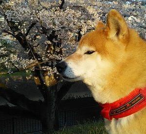 コロナ疲れに、柴犬と桜