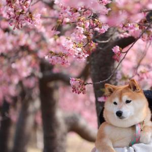 おはようございます☺️河津桜🌸